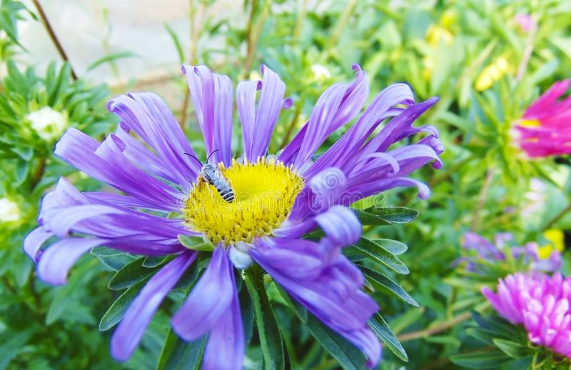 授粉一朵蓝色花的蜂 库存图片