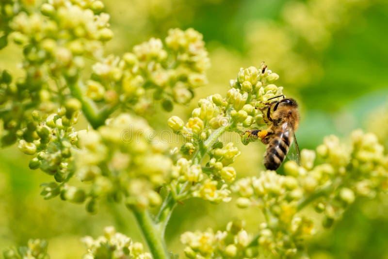 授粉在发光的蜜蜂在盛开的Sumac绿黄色花 在腰果的漆树Copallinum-落叶开花的树 免版税库存照片