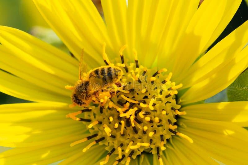 授粉在大草原领域的黄色错误向日葵的蜜蜂 菊科家庭 Rhizomatous草本多年生植物 免版税库存照片