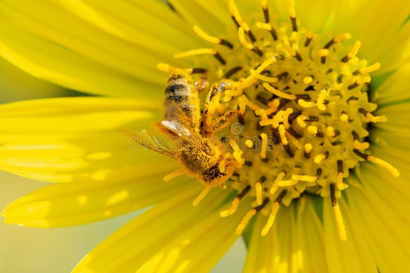 授粉在大草原领域的黄色错误向日葵的蜜蜂 菊科家庭 Rhizomatous草本多年生植物 免版税图库摄影
