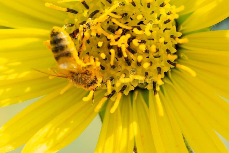 授粉在大草原领域的黄色错误向日葵的蜜蜂 菊科家庭 Rhizomatous草本多年生植物 库存照片
