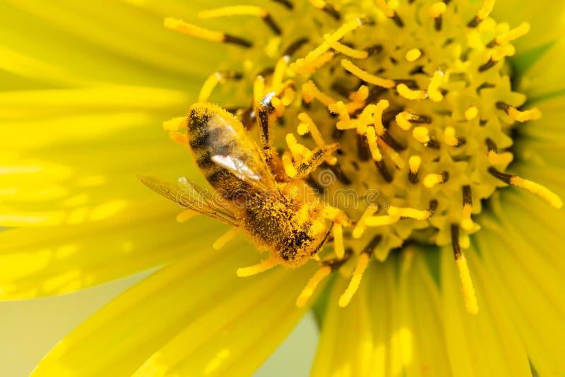 授粉在大草原领域的黄色错误向日葵的蜜蜂 菊科家庭 Rhizomatous草本多年生植物 图库摄影