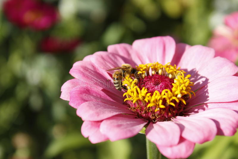 授粉桃红色花的蜂 免版税库存图片