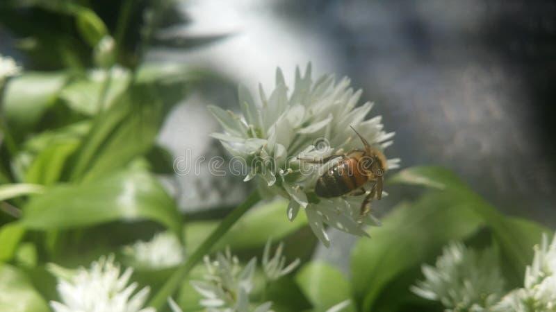 授粉的蜂 免版税图库摄影
