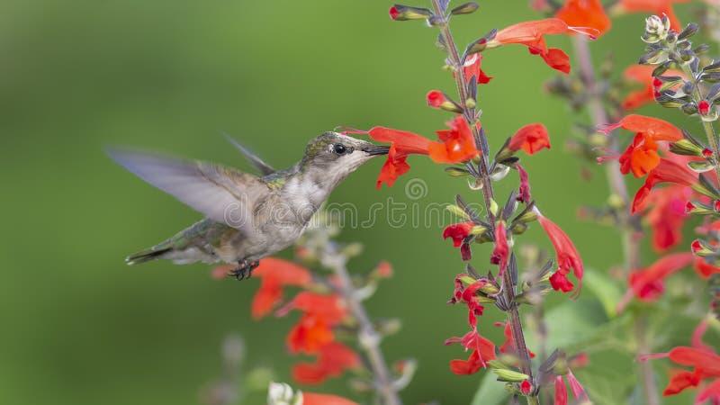 授粉红色贤哲的幼小红宝石红喉刺莺的蜂鸟 图库摄影