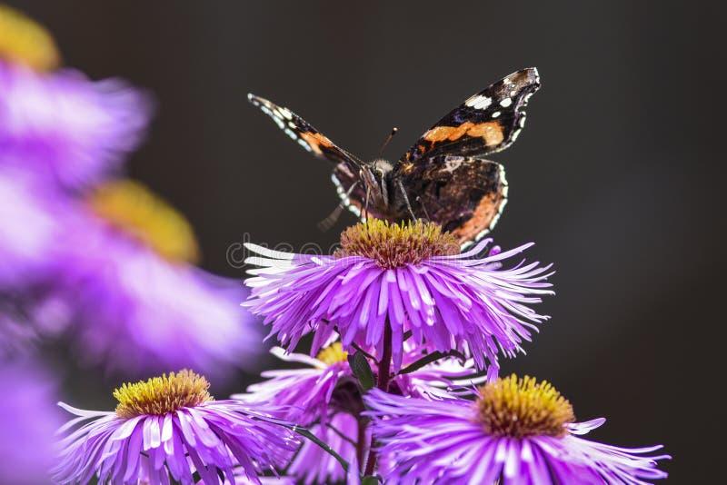 授粉翠菊紫罗兰,夏天的蝴蝶在庭院里 库存照片