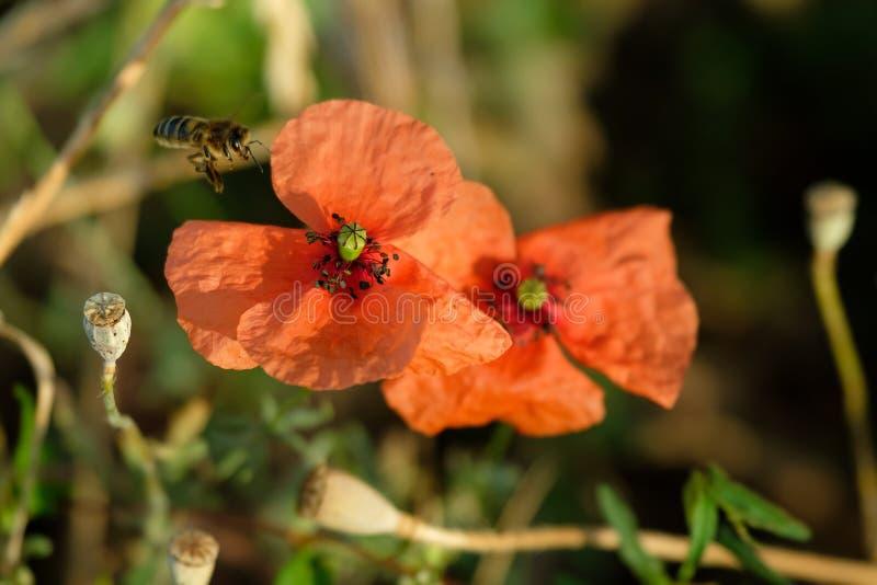 授粉鸦片的蜂在草甸 免版税库存照片
