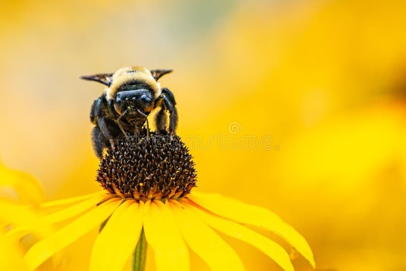 授粉黑眼睛的苏珊花的土蜂 免版税库存照片