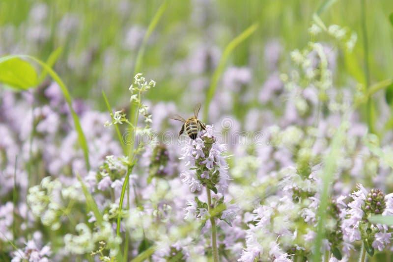 授粉紫色花的蜂 免版税库存图片