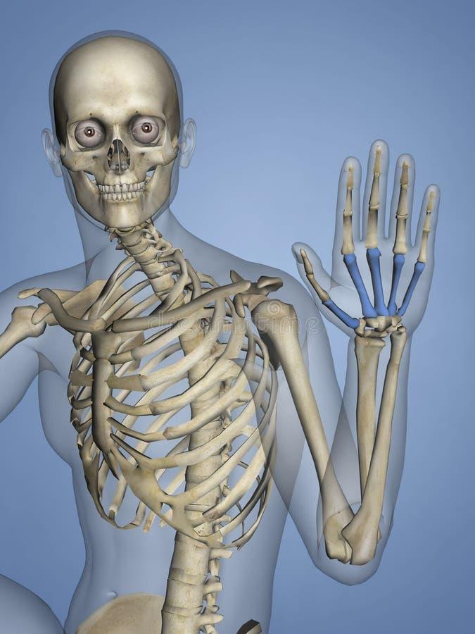 掌,人的骨骼, 3D模型 向量例证