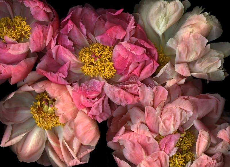 排列牡丹粉红色 图库摄影
