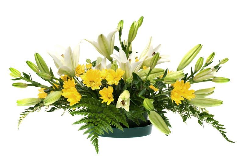 排列雏菊开花空白黄色 库存图片