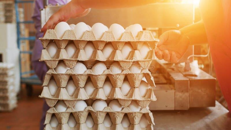 排序和拣掉在家禽场的鸡鸡蛋的过程,日落,工作者 库存照片