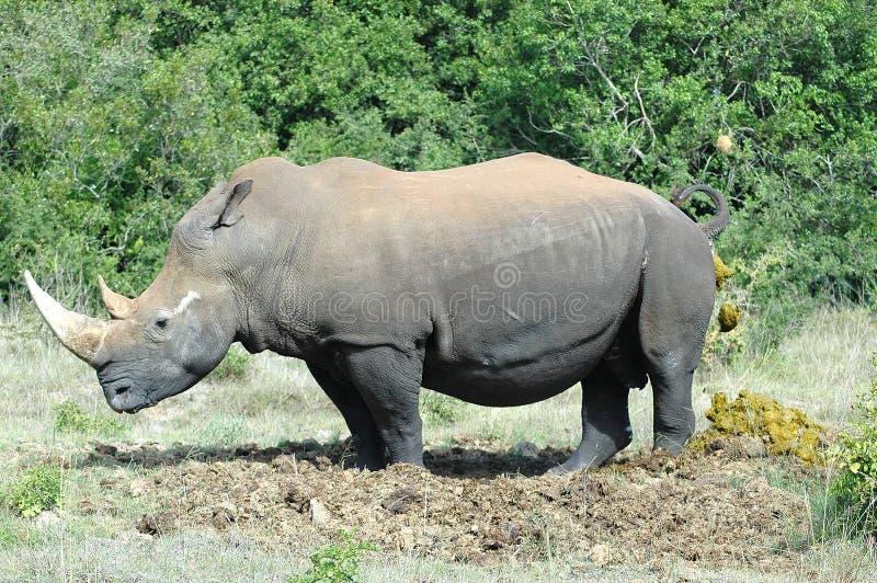 排粪犀牛 免版税库存图片