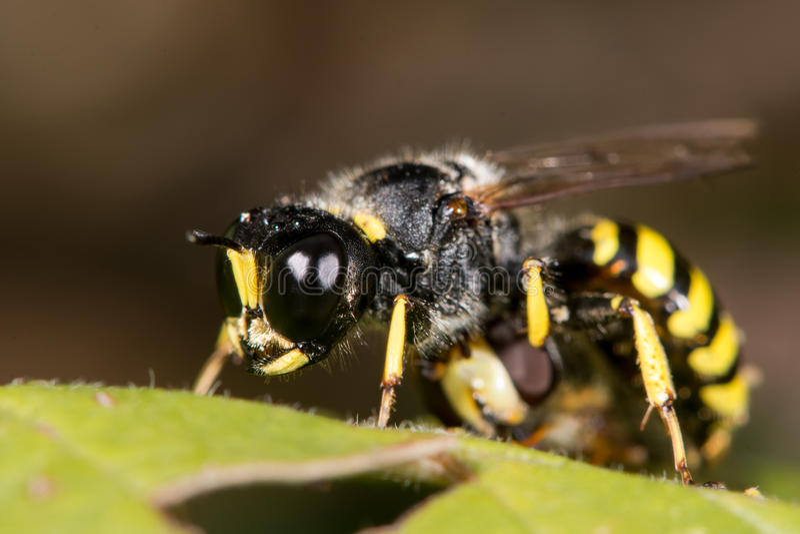 掘土蜂与hoverfly牺牲者的Ectemnius cephalotes 库存照片