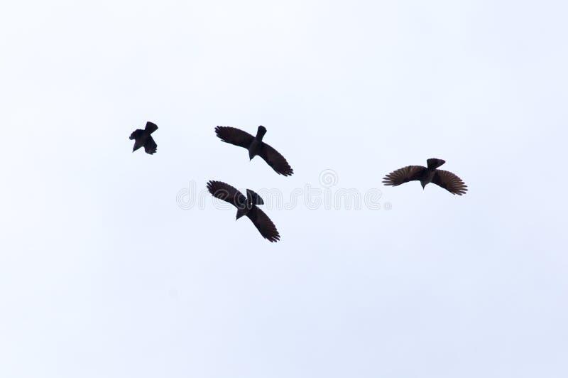 掠夺鸟群在蓝天的 免版税库存照片
