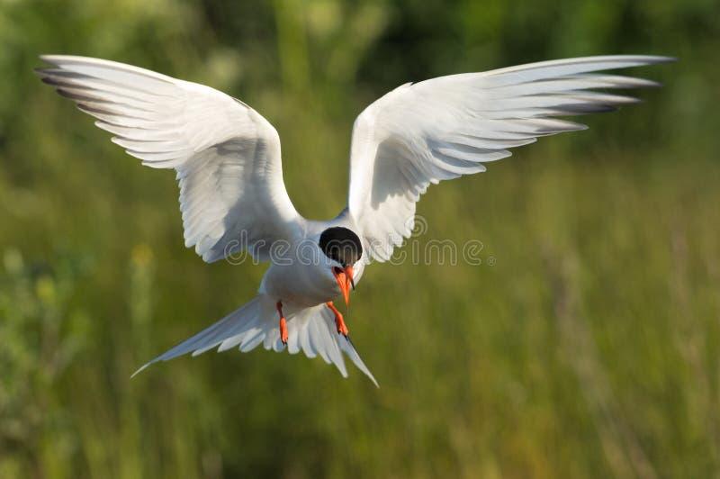 掠过的燕鸥 免版税库存照片