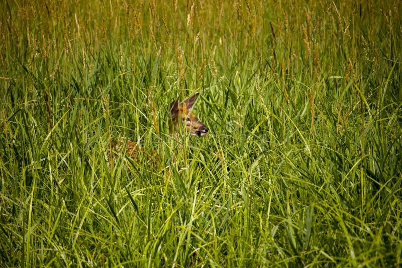 从掠食性动物掩藏的鹿 图库摄影