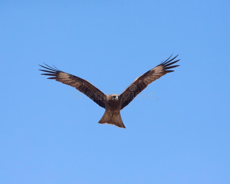 掠食性的鸟 免版税库存照片