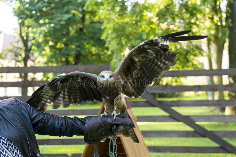 掠食性鸟传播的翼坐一个人, eagl的胳膊 免版税图库摄影