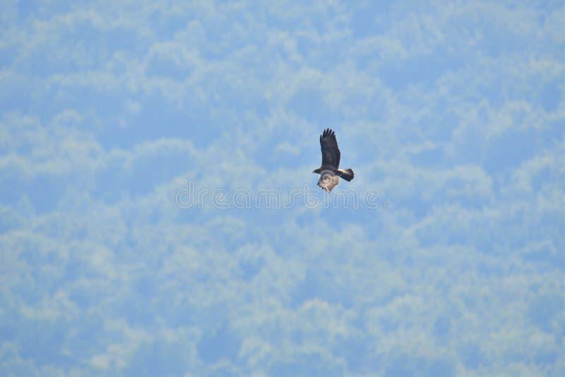 掠食性鸟鹰 库存图片