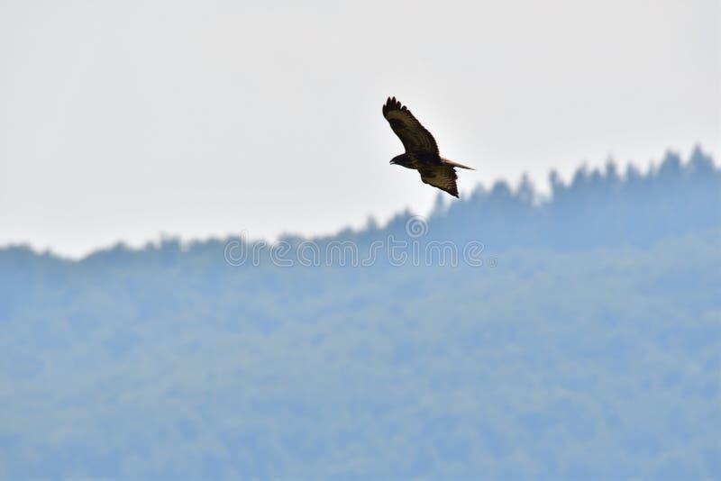掠食性鸟鹰 免版税库存图片