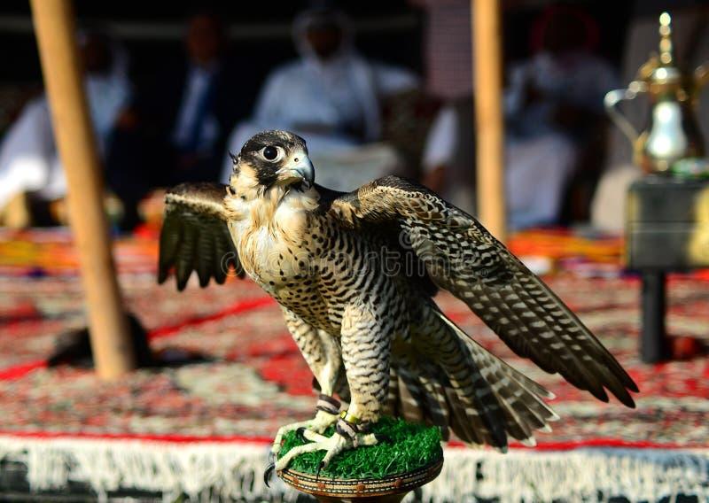 掠食性鸟-棕色猎鹰 库存照片
