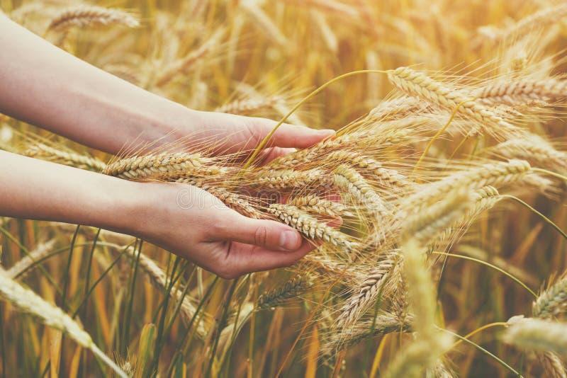 接触和握麦子耳朵,自由,健康生活方式,有机耕田,收割期的女性手 免版税库存照片