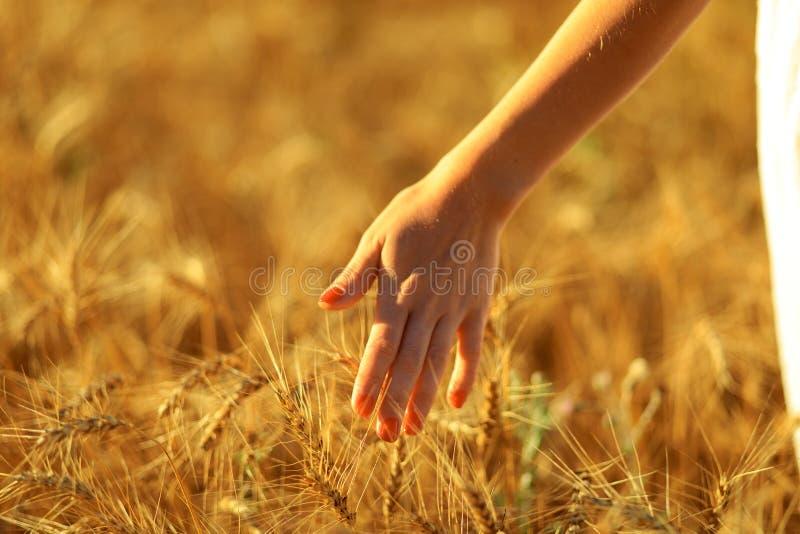 接触在麦田的妇女手一个金黄麦子耳朵 库存图片