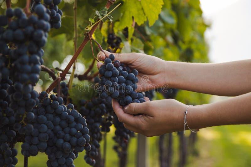 接触葡萄的年轻女人的手在收获期间在葡萄园里 库存图片