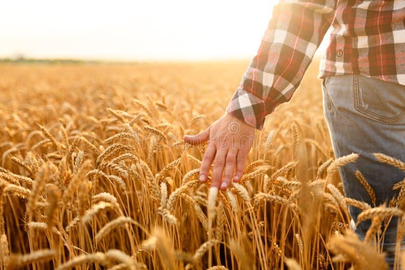 接触他的庄稼用在一块金黄麦田的手的农夫 收获,有机耕田概念 免版税库存照片