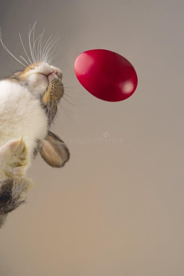接近一个红色鸡蛋的复活节兔子,射击形成下来角度 库存照片