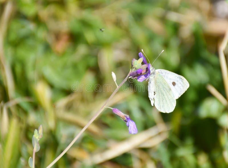 接近在一朵紫色花平安地摆在的一只白色蝴蝶喝花蜜在一好日子在草本背景的春天 免版税库存照片