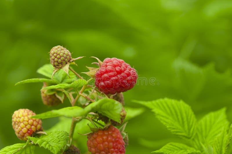 接近成熟莓分支在庭院里 库存图片