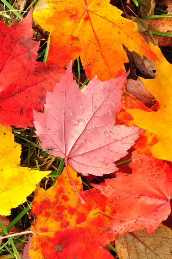 接近的五颜六色的叶子槭树 免版税库存图片