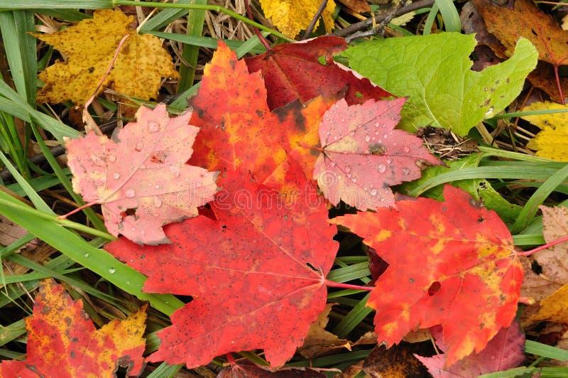 接近的五颜六色的叶子槭树 库存照片