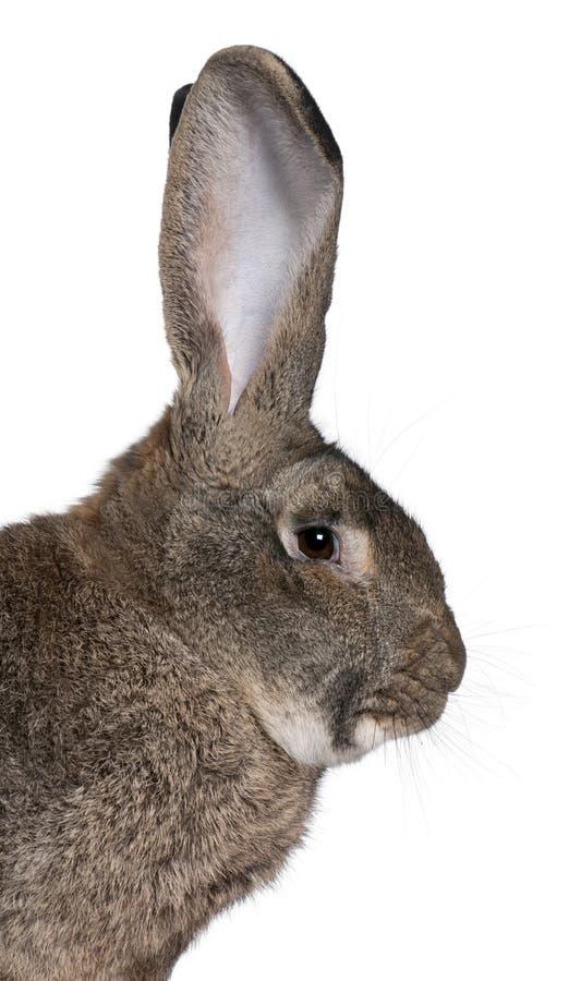 接近的佛兰芒巨型兔子 库存照片
