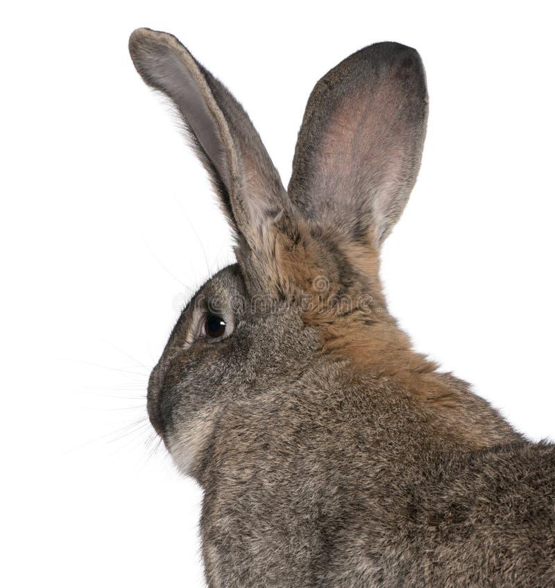接近的佛兰芒巨型兔子 免版税库存照片
