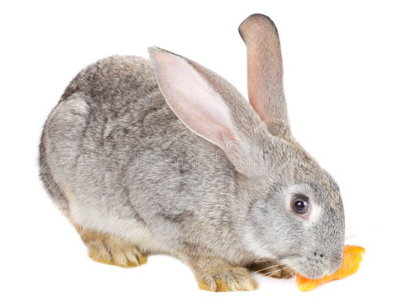 接近的兔子 免版税图库摄影