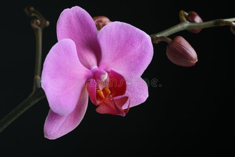 接近的兰花紫色 免版税图库摄影