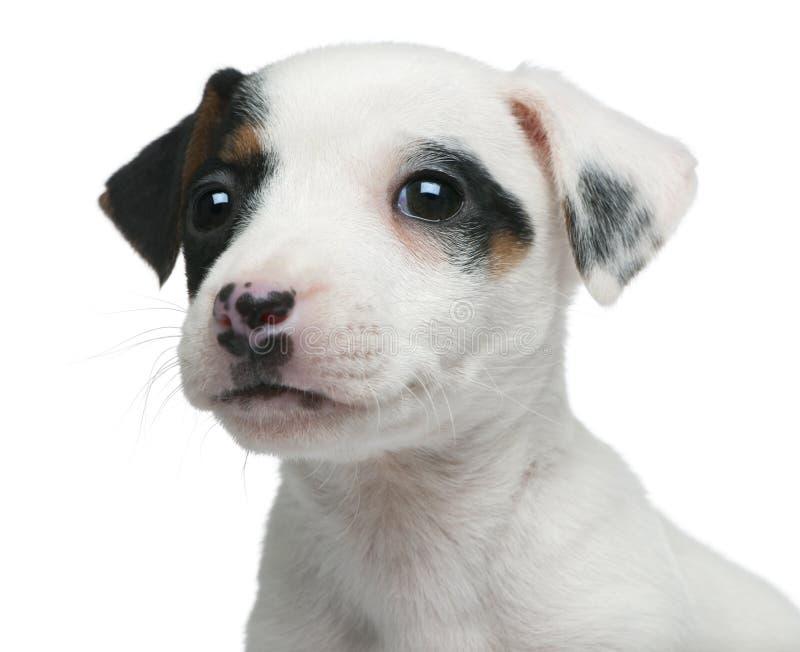 接近的插孔小狗罗素狗 免版税库存照片