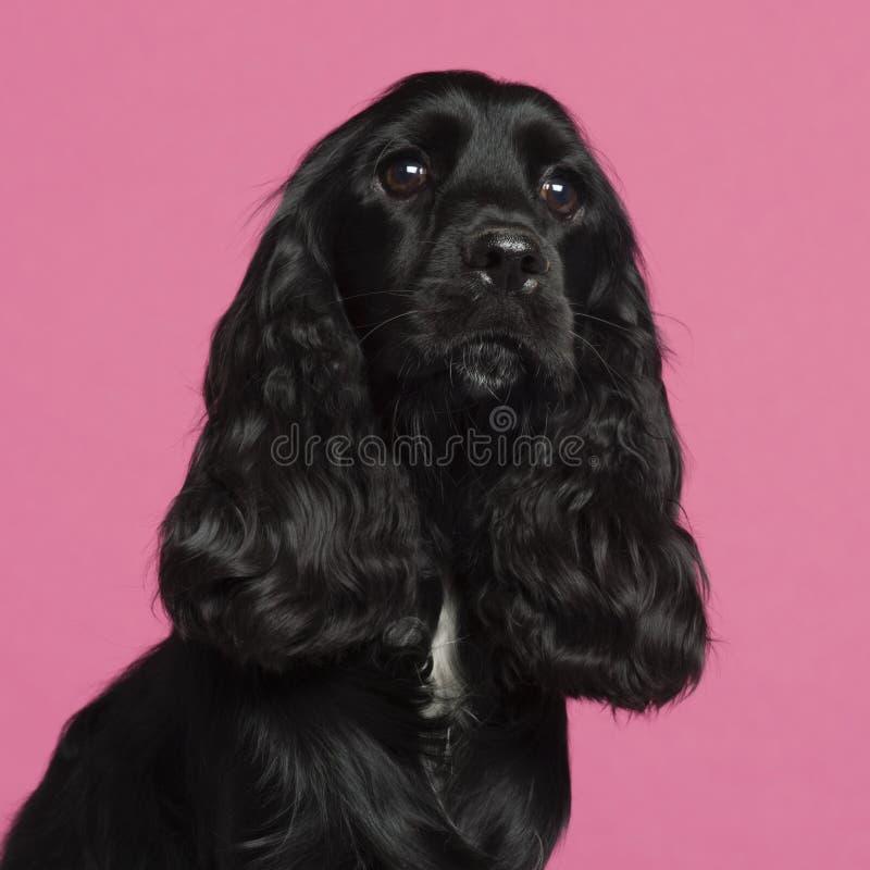 接近的斗鸡家英国西班牙猎狗 免版税图库摄影