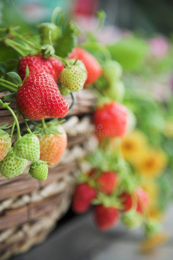 接近的新鲜的工厂草莓 免版税库存图片
