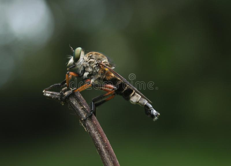 接近的极其飞行昆虫其他食肉动物的强盗 免版税库存照片