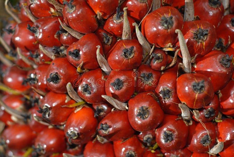 接近的果子油棕榈树 库存图片