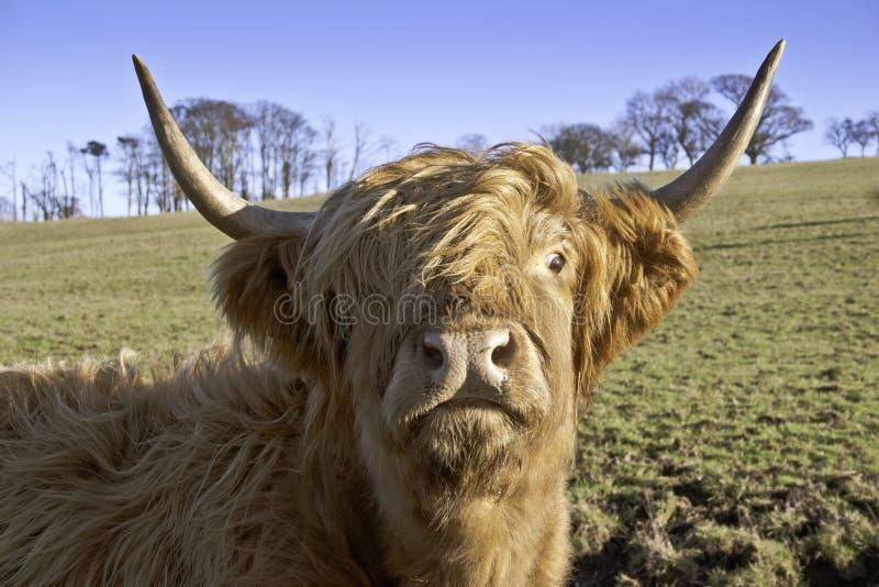 接近的母牛高地 免版税图库摄影