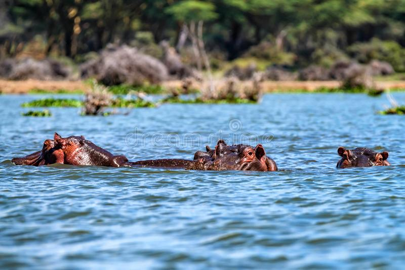 接近的河马或河马amphibius在水中 免版税图库摄影
