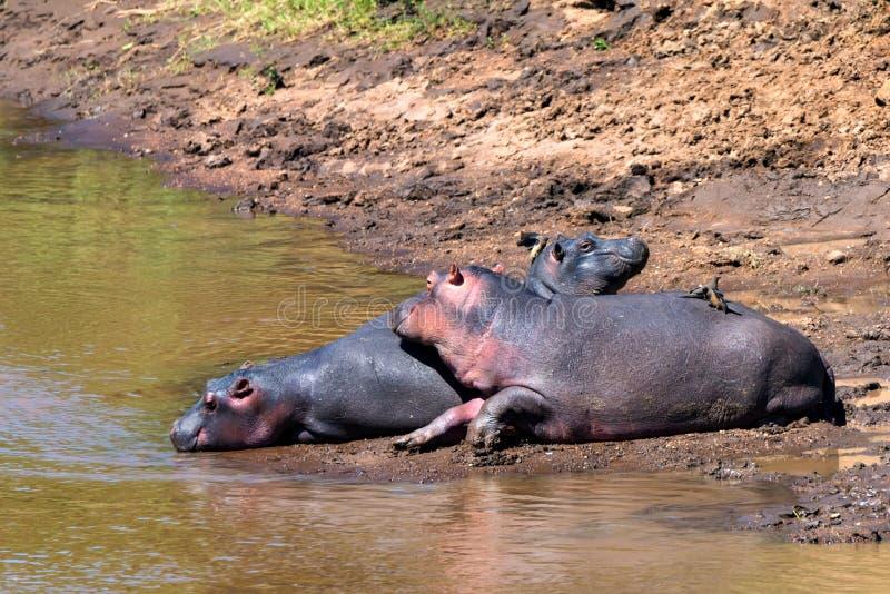 接近的河马或河马amphibius在水中 免版税库存照片