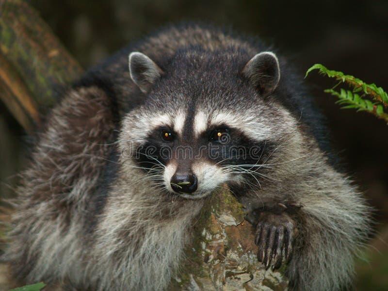 接近的浣熊 免版税库存照片