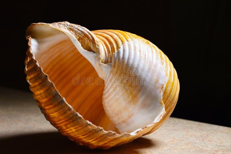 接近的海运壳 免版税图库摄影